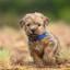 Norfolk terriër pup