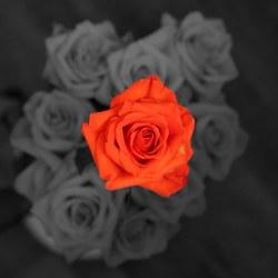 Een rode roos