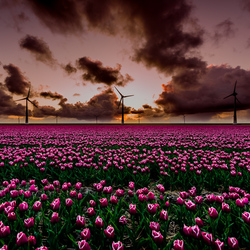 Tulpen en windmolens