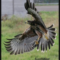HARRIS HAWK IN DE VLUCHT