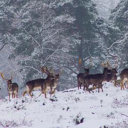 Herten in de sneeuw.jpg