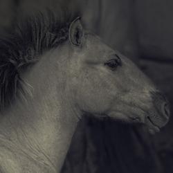 Konik paard- Blauwe Kamer