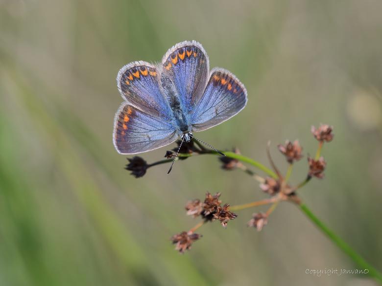 Bluebrown lady - Bij de Icarusblauwtjes zijn de mannen blauw met geopende vleugels, en de vrouwen bruin....meestal.<br /> Je hebt echter ook een peri