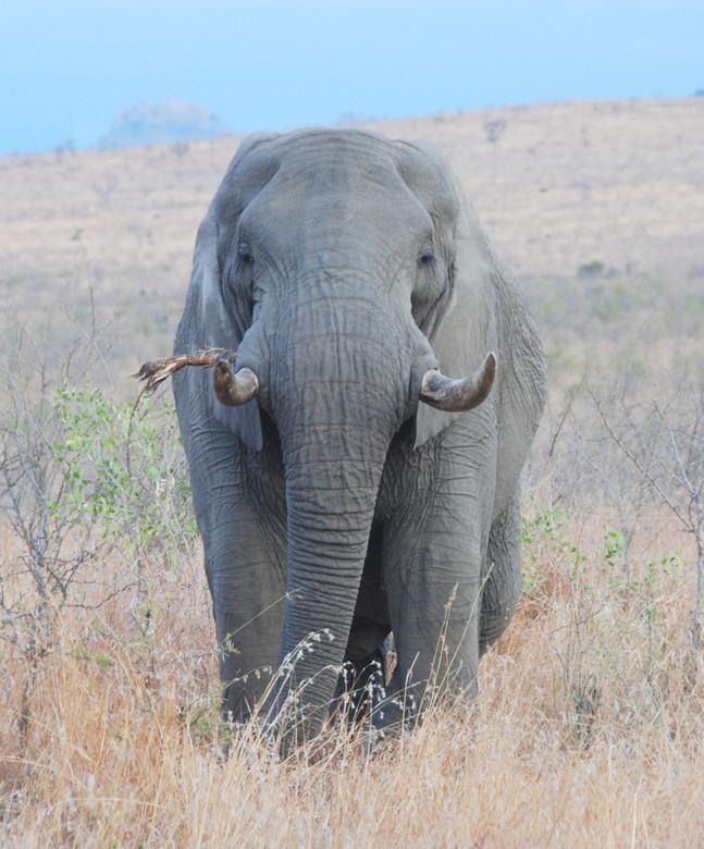 Old Bull - Winter in de Kruger