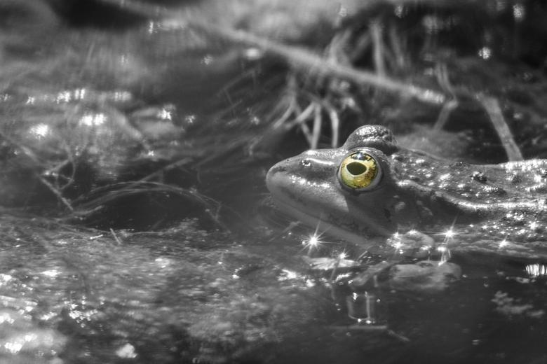 Kijk eens in m'n ogen - Close-up van een kikker in zwart wit, met kleur in het oog.