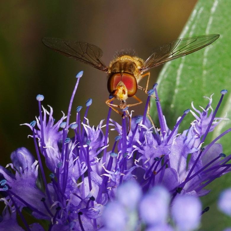 2018-09-15 11-06-43 - bijen in de tuin - Even lekker experimenteren in de tuin. Een voor mij niet bij soortnaam bekend insect, bij de laatbloeiers in