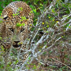Dreigend luipaard