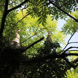 Reigers Op Het Nest II