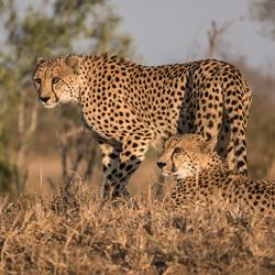 Cheeta's in het ochtendgloren