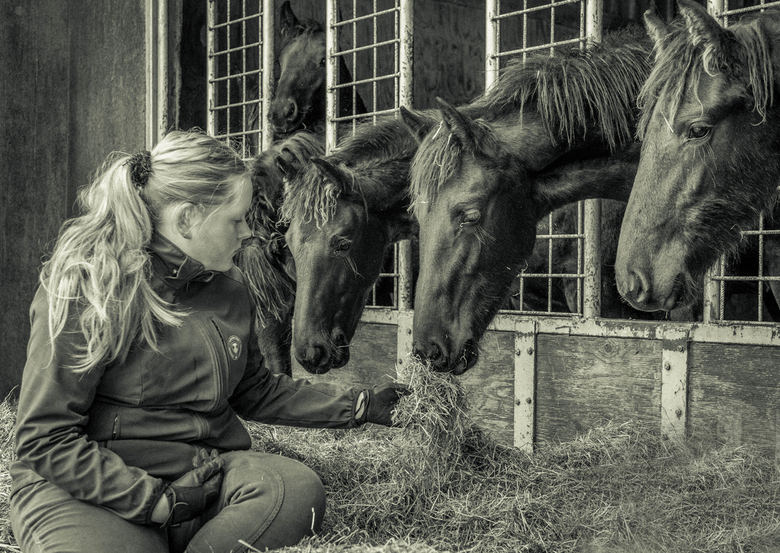 Friese paarden - Dit zijn jonge hengsten aankomende kampioenen. Afgelopen vrijdag mocht ik er relaxed rondlopen en wat was het leuk tussen de paarden.