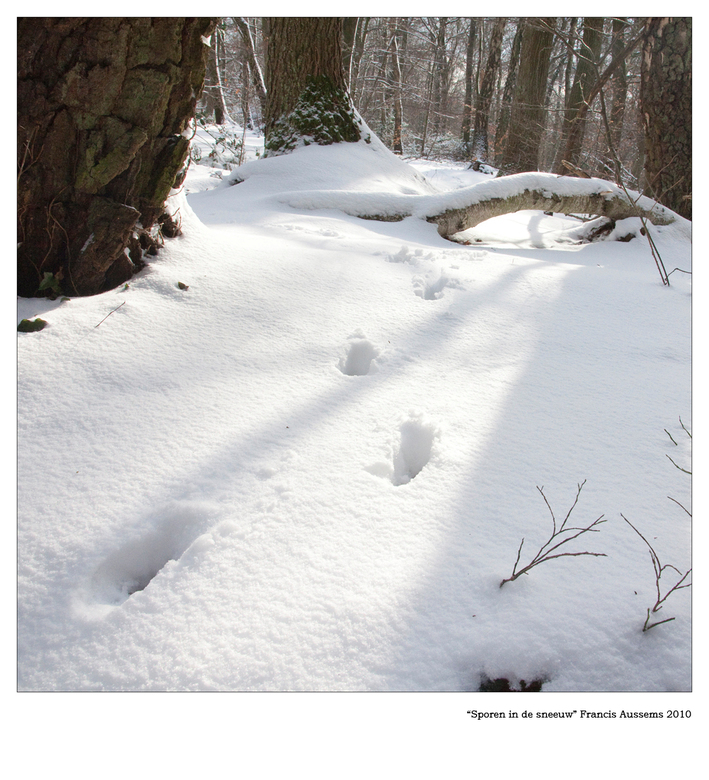 Sporen in de sneeuw - Vandaag genomen in de bossen bij Epen. Er was vandaag een vers laagje gevallen en deze sporen van een hond lopen mooi parallel m