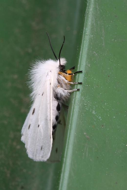 Witte tijger. - De witte tijger (Spilosoma lubricipeda), voorheen tienuursvlinder, behoort tot de beervlinders. De kleine zwarte vlekjes op de voorvle