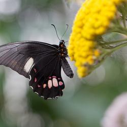 Vlinder zonder naam
