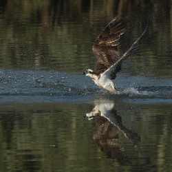flying out of the water
