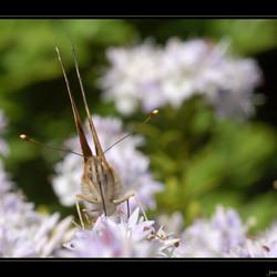 Portret van Vlinder - 1