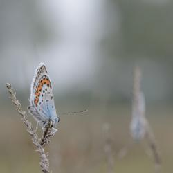 Soon- Heideblauwtjes