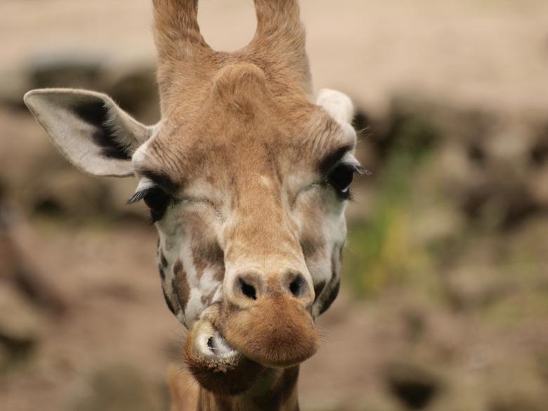 He wat moet dat daar!!! - Giraffe in Burgers Bush, eentje van vorig jaar.<br /> Ik kijk uit naar jullie reacties en feedback zodat ik kan leren van j
