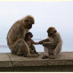 De apen van Gibraltar  3