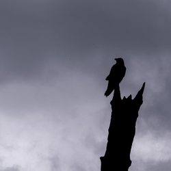 Dark Omen in Yellowstone