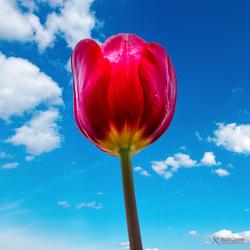 Tulp gezien vanaf de onderkant