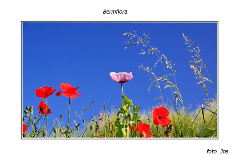 Bermflora - Ergens in Zuid Limburg, zo maar langs de kant van het fietspad in de berm. Ieder bedankt voor de reactie op mijn vorige upload en een fijn