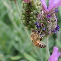 Insect op een lavendelbloem