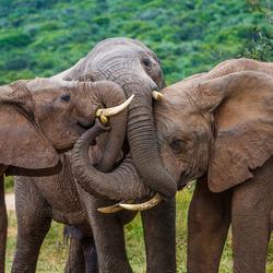 Omhelzing / Elephant Hug