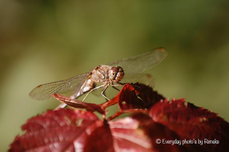 Libelle in de herfstzon
