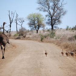 Familie struisvogel