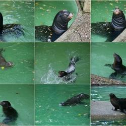 Spelende Californische Zeeleeuwen.