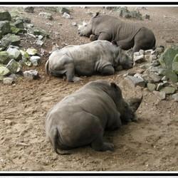 Heel erg lui, 3 Neushoorns