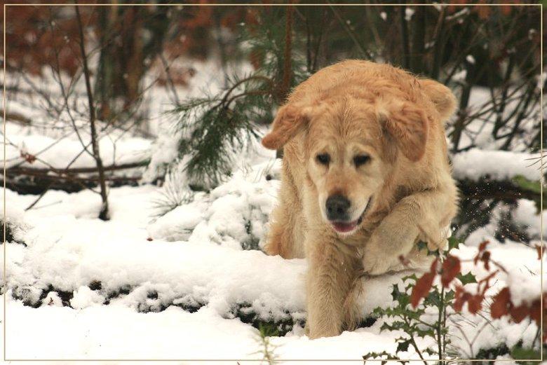 Sneeuwpret - Hallo allemaal<br /> Hierbij een foto van onze Banjer in actie in de sneeuw.<br /> Banjer is zo verzot op sneeuw dat hij me achter de p