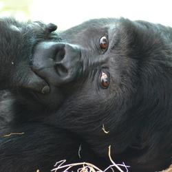 Zoo Antwerpen aap