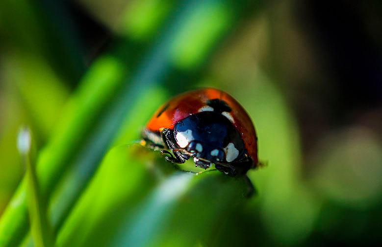 Lieveheersbeestje - Foto is gemaakt bij ons in de achtertuin