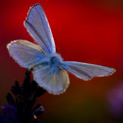 Icarusblauwtje voor Klaproos