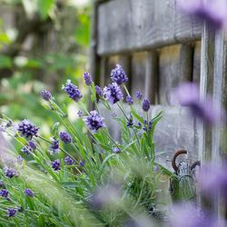 Lavendel in 'n mandje