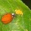 Lieveheersbeestje legt eitjes