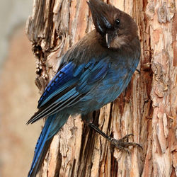 Blue Jay...