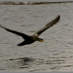 Aalscholver in vlucht