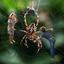 kruisspin krijgt vliegje