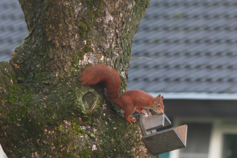 """Opzoek naar  - Nadat alle koolmezen en duiven uit """"zijn"""" boom zijn gejaagd. Controleren of er nog wat"""