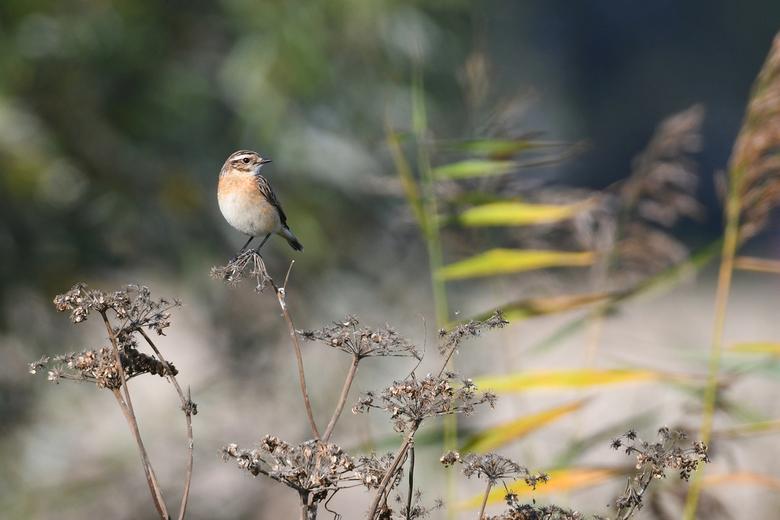 Paapje (vrouw) - Al een paar dagen achter elkaar zag ik dit vogeltje bij het riet aan de rand van een akkerveld. Ik kom daar regelmatig en had dit vog