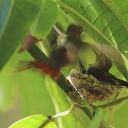 Kolibrie nestje 9 dagen oud