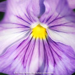viooltje : Viola Columbine