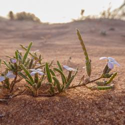 Wadi Rum woestijnplantje