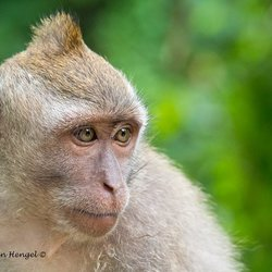 Macaque aapje