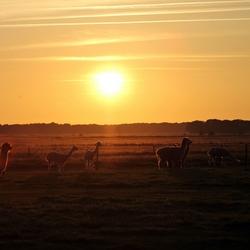 alpaca's bij zonsondergang