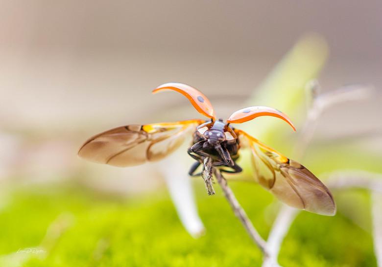 Lieveheersbeestje -
