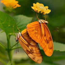 Parende passiebloemvlinders in de vlindertuin