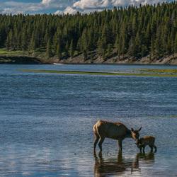 Hert met jong